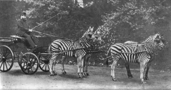 pripitomljavanje zebri os uma 1