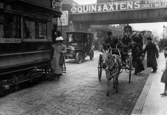 A zebra and trap and a London tram vie for business in Brixton. (Photo by Topical Press Agency/Getty Images)