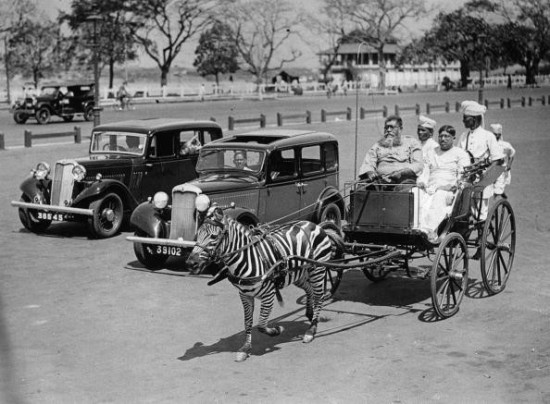 UNSPECIFIED - CIRCA 1930: A zebra as horse substitute pulling a carriage in Calcutta, Photograph, India, Around 1930 (Photo by Imagno/Getty Images) [Zebra als Pferde-Ersatz bei einer Kutsche in Kalkutta, Photographie, Indien, Um 1930]