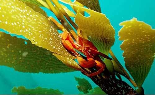 kelp os uma