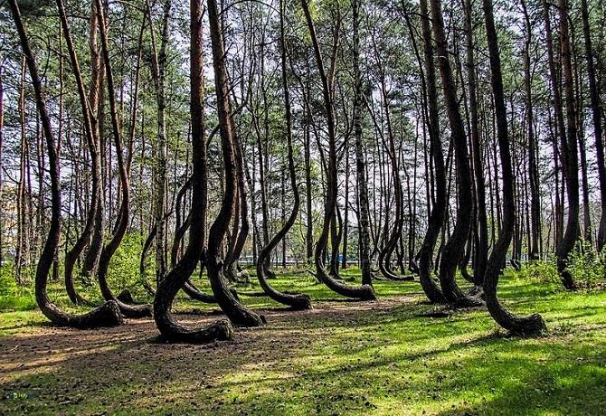 iskrivljeno-drvece-poljska