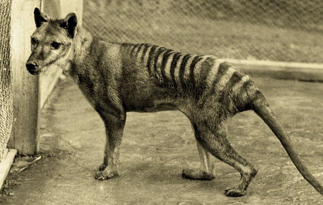 Povratak tasmanijskog tigra?